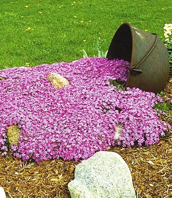 BALDUR-Garten Teppichphlox u0027Emerald Pinku0027,winterharter Bodendecker - gartenabgrenzung mit pflanzen