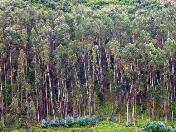 Une #fôret d'arbres aux troncs très fins !