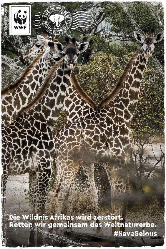 Unvorstellbar! Selous, Afrikas vergessenes Weltnaturerbe, ist in Gefahr! Wilderei und Industrie zerstören die unberührte Wildnis im Herzen Tansanias. Bitte unterschreibt die Petition: www.wwf.de/selous-retten #SaveSelous
