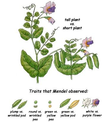 a comparison of the growth of two pea plants Medline abstract printer-friendly  comparison of cultural growth and in planta  when pathogens were co-inoculated in pairs onto leaves on field pea plants,.