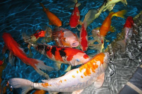 Fish Fishes Underwater Sealife Ocean Sea Water Wallpaper Fish Wallpaper Koi Fish Live Fish Wallpaper