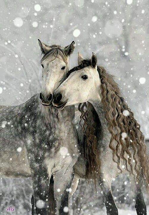 """"""" Chérie, tu es très belle mais je crains pour tes frisettes ... """" / Chevaux gris pommelés sous une forte chute de neige. / Gray Dapple Horses in Heavy Snowfall."""