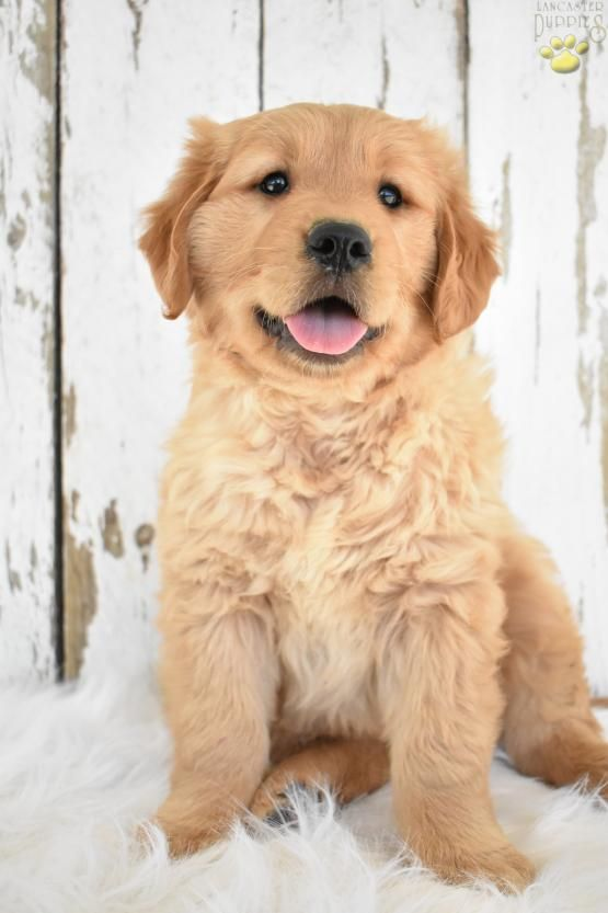 Pin By Virginia Brumbeloe On Puppies Golden Retriever Cute Dogs