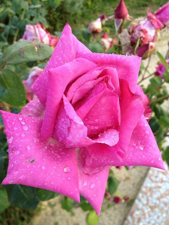 Rosa stupenda!!!