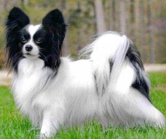 papillón perro