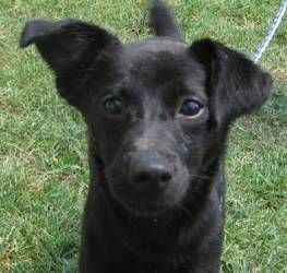 REECE is an adoptable Labrador Retriever Dog in Arlington Heights, IL. Reece us a pocket lab, only about 25lbs. She is only almost one year old, too! She is sweet and playful, and loves everyone! If y...