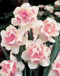 Double Daffodil 'Replete'
