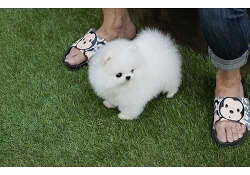 Purebred Teacup Pomeranian Puppy For Sale Classifieds Horse