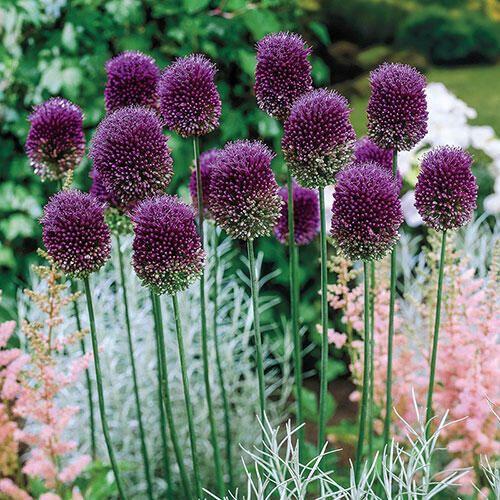 Drumstick Allium Breck S In 2020 Allium Plants Garden