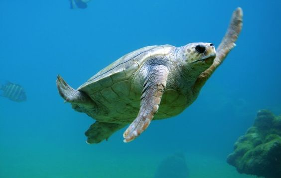 Sea turtle - HD Wallpapers 100% Quality HD Desktop Wallpapers (High Definition)…