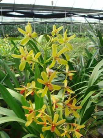 Gallery - Purificacion Orchids Official Website