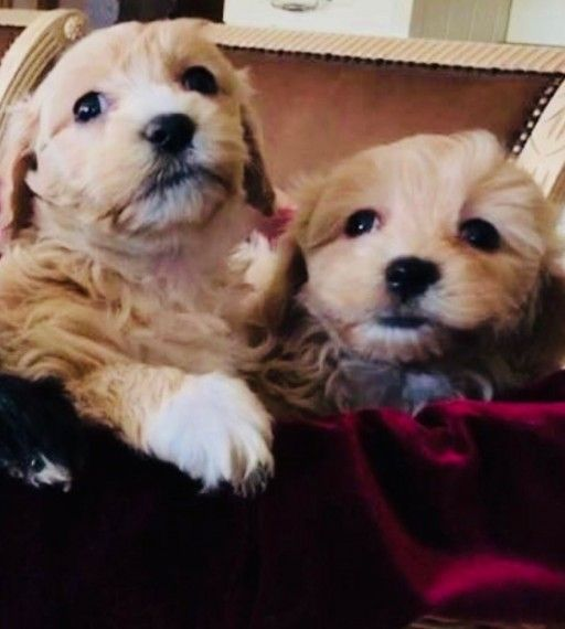Maltipoo Puppies For Sale Colorado Springs Co In 2020 Maltipoo Puppies For Sale Maltipoo Puppy Puppies For Sale