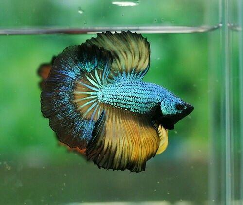 Pinterest the world s catalog of ideas for Rare betta fish