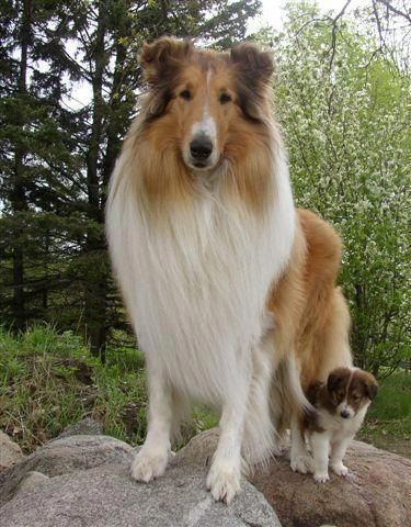 Shetland Sheepdog Energetic And Playful In 2020 Collie Dog