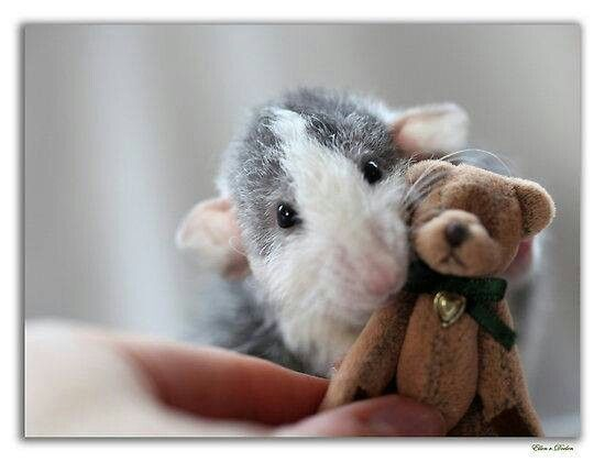 Rosie the rat and her Teddy Bear
