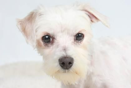 Petango.com – Meet Stuart, a 2 years 6 months Maltese available for adoption in COLORADO SPRINGS, CO