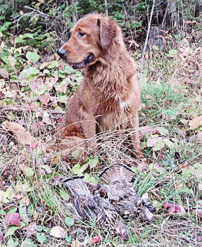 The Golden Retriever was bred by Lord Tweedmouth of the Scotch Highlands from the Flat-Coated Retriever and the Tweed Water Spaniel. Bloodhound and Irish Setter genes were further added along the way to create the Golden Flat Coat, known today as the Golden Retriever.