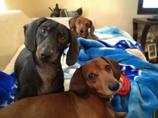 Beh Allora Dachshund Lovers Weenie Dogs Doxie Dogs