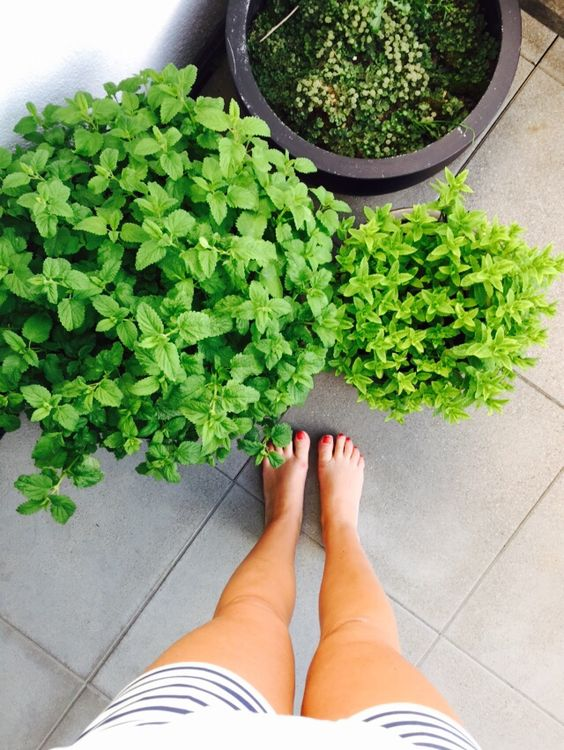 Urban gardening . Mint Love .