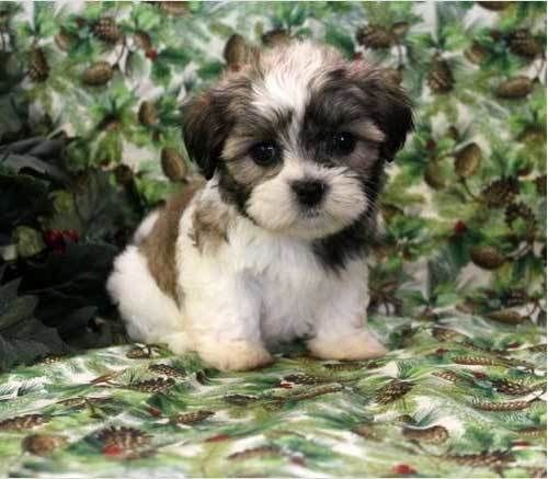 All About The Havanese Shih Tzu Mix Havashu Facts Information Teddy Bear Puppies Puppies Cute Animals