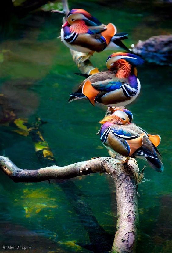 Shangrala's Colorful Birds: Colorful Birds, God, Wood Ducks, Beautiful Birds, Beautifulbirds, Mandarin Ducks, Alan Shapiro