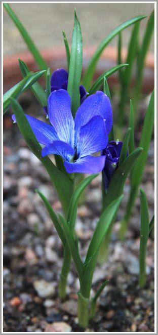 Tecophilaea cyanocrocus - Alpine Garden Society