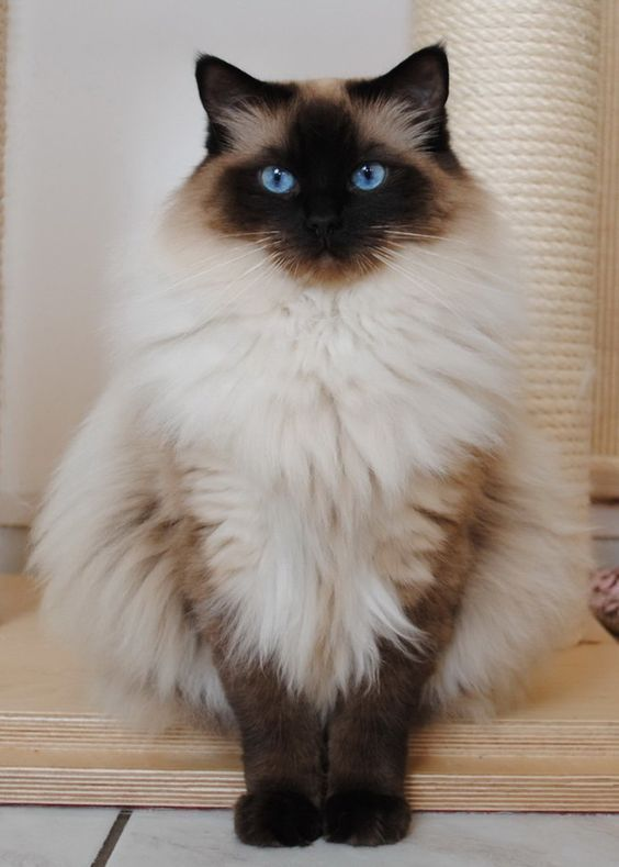 Fluffiest Siamese Cat Ever Fluffycat Siamesecat Siamesekitty