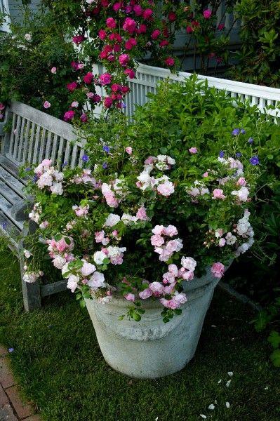 rosier en pot entretien deco comment et pots