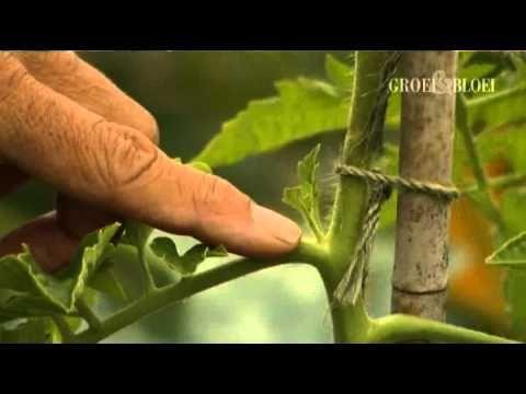 Hoe kun je een tomatenplant kweken en dieven? (moestuin) - Instructies - Weethetsnel.nl