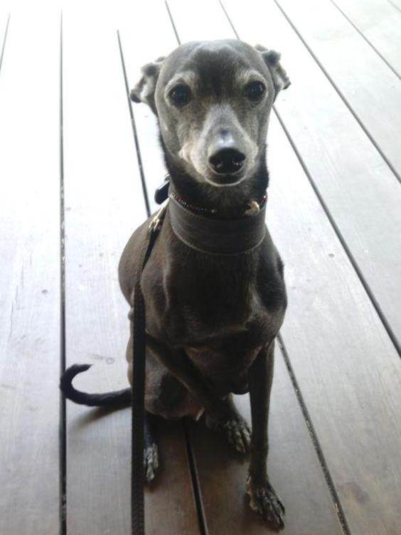 Bruno the Italian greyhound