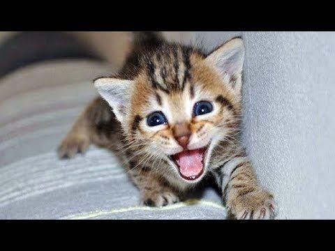 Cute Cats Meowing Kittens Meowing Cat Meowing Video Kitten