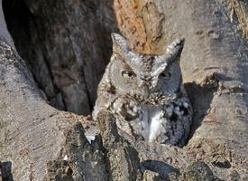 Eastern Screech-Owl, Sounds, All About Birds - Cornell Lab of Ornithology,( newest visitor to our back garden summer 2012 Ontario, Canada!)