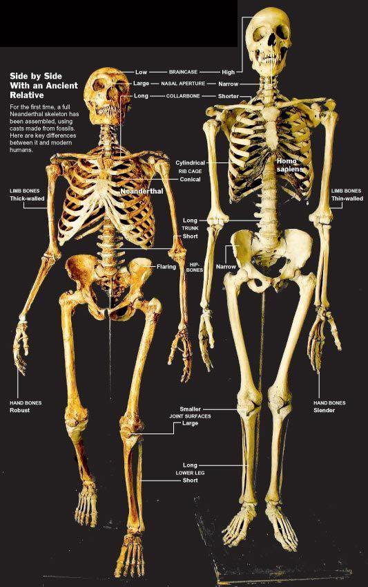 neanderthal and modern human skeletons. | the hand | pinterest, Skeleton