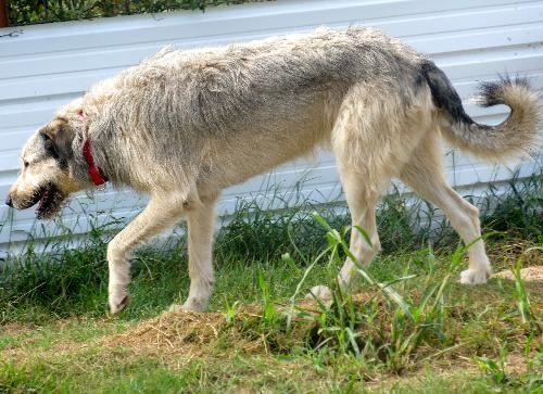 Save a dog, Anatolian shepherd and Irish wolfhounds on ...