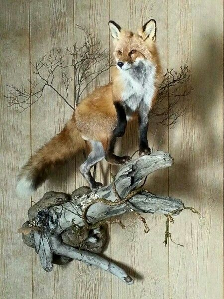 Red Fox Taxidermy Pinterest Red Fox Sad And Red