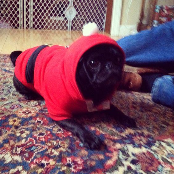 Stella the pug on Christmas
