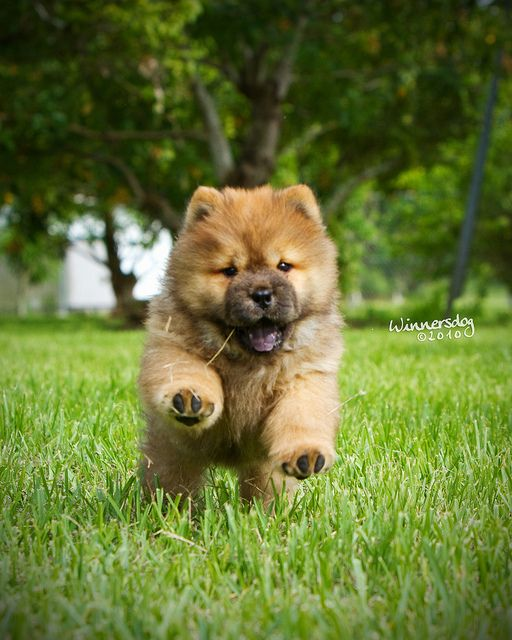 Tan and black Chow Chow puppy running in grass