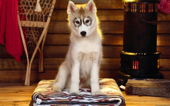 animaux chien mignon husky chiot animaux fond d 39 cran cute pinterest animaux. Black Bedroom Furniture Sets. Home Design Ideas