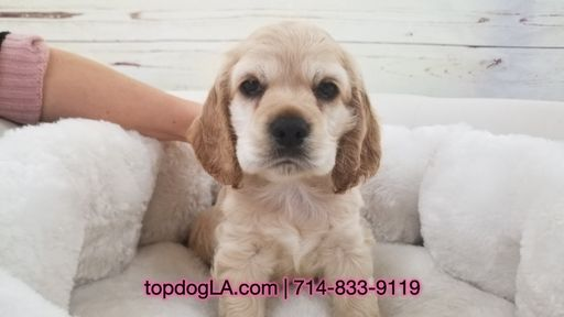 Cocker Spaniel Puppy For Sale In La Mirada Ca Adn 69440 On Puppyfinder Com Gender Male Age 8 Weeks Old Spaniel Puppies For Sale
