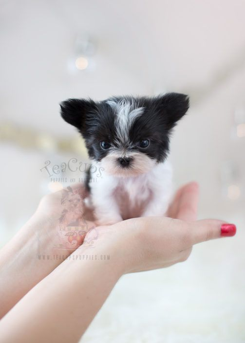 Micro Teacup Mi Ki Puppy By Teacups Puppies Boutique 3 Miki