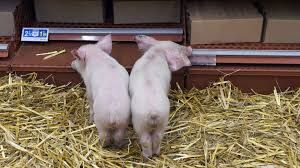 """Résultat de recherche d'images pour """"Elevage des porcs"""""""