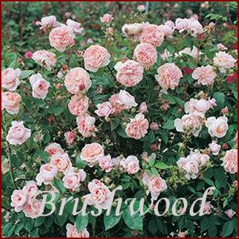 Climbing Rose Colette (Rosa 'Meiroupis') combines classic romantic rose looks with modern vigor and disease resistance. It also gives your garden a wonderful citrus fragrance.