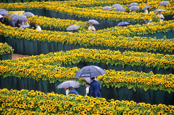 A maze made up of 125,000 sunflowers has been set up on the Museumplein in Amsterdam to celebrate the opening of the new entrance hall to the Van Gogh museum. The maze covers almost half the square and everyone is welcome to wander through it on Saturday and Sunday from 09.00 to 17.00. The maze...