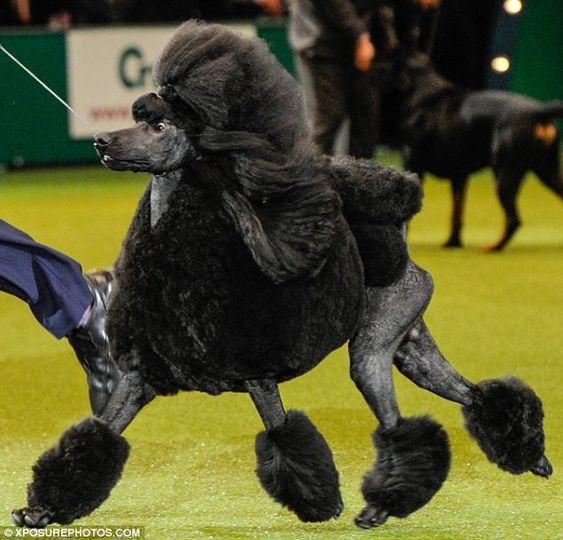 Chó Poodle màu đen ngơ ngác
