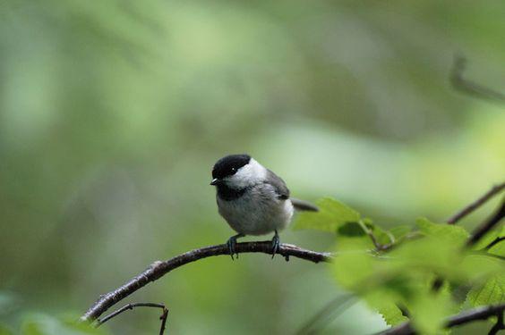 Marsh tit/Japanese marsh tit/コガラ/resident bird/only Hokkaido