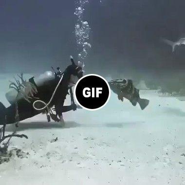 Mergulhador acariciando um peixe grande