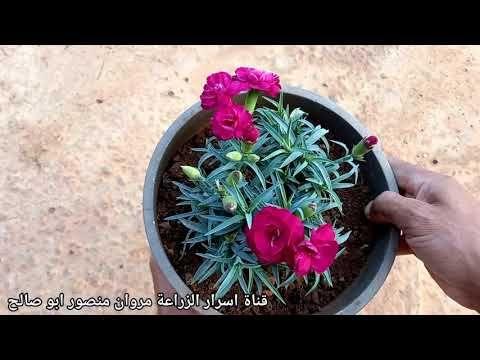 زراعة القرنفل من البذور Youtube In 2021 Succulents Plants Enjoyment