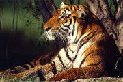 This article talks about the India´s big cat, the Royal Bengal Tiger. This tigers are the national  animal of India and Bangladesh, India is one of the many countries this tigers call home, and this majestic big cat is serously endangered,,and its illegal to haunt them.
