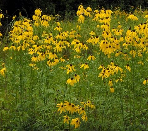 Texas plants, Perennial plant and Perennials on Pinterest