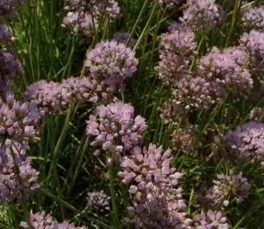 allium sativum flor - Buscar con Google